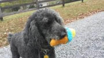 Playful Poodle