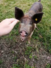 Porchina the pig (Malvern Hills pet sit)