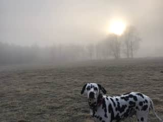 This is Lily my friend Jonnys lovely dalmatian