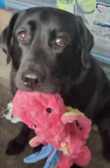 Josie-- trained service dog and murderer of many a stuffed toy