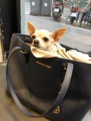 Nina, the Chihuahua we cared for in Paris, France