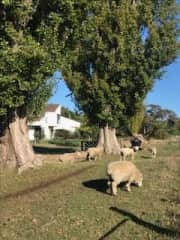 Taking care of some sheep in Whanganui, New Zealand.