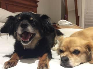 My precious precious pals........aged 12 and 13 Bella is black and Maxie gold!  Grrrrrrrrr