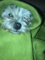 Aour Westhighland White Terrier - Lola