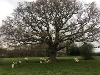lambs under the old oak