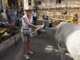 Petting a sacred cow in India