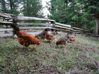 I also love caring for chickens! This is in Canada