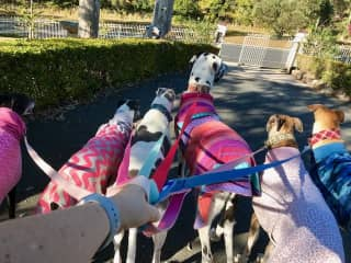 Walking 6 big dogs at a time at one of my sits in Australia! They were a great bunch and we had so much fun.