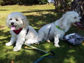 Archie and Rocco Jackson (I'm their regular dog-walker)