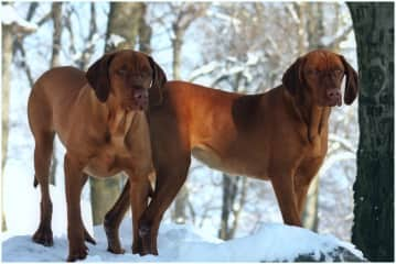 My previous amazing Vizsla dogs, Magus and Huncut