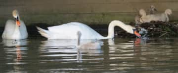 I like taking photo's of animals. This is in the canals of The Hague where i live and noticed a nest of young swans
