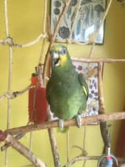 """This is """" Harry """" the 27 year old Amazon Parrot that I look after three times a year along with 4 Cats, and some feral fox's I house sit here in Ilford on a regular basis."""