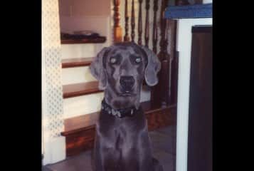 Jesse...my foster Weimaraner. If there ever was a dog that needed to be turned loose to run across to an adjoining state..it was this one. What a fabulous specimen. So grateful he went to a great home.