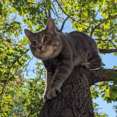 Greyboy is an easy going, friendly blue classic tabby.  He's food motivated and will usually come when called, but you can guarantee it with a couple treats.  He's sweet and loves attention.