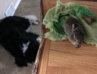 Newfie and wild rabbit