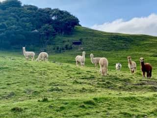 Alpacas - All 7 of the herd... plus one of the two bulls.  Coromandel Peninsula, New Zealand 2021