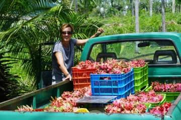 Harvesting & Selling Pitaya crops ... Belize