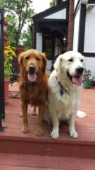 Major and Ari, two of my pet sitting dogs.