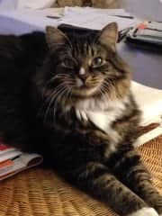 Max, a Maine Coon mix who I cared for for 4 years, until owner died and he was rehomed.