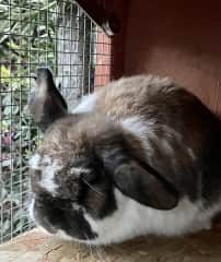 A mini-lop, Just under 4 ibs, he is mellow and soft as can be.