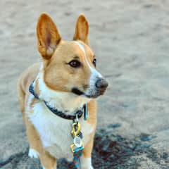 """Georgie! He is a sweet and snuggly boy. If you plan to enjoy some mountain hikes, feel free to take George along! He does great, but keep him on leash and avoid """"meeting"""" other dogs. He's not friendly with other dogs, but loves all people!"""