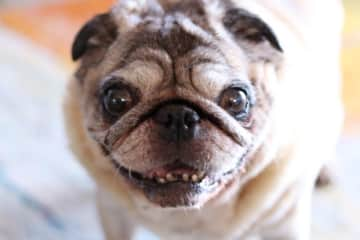 Bertie Boy, sweet old stinker. petsitting