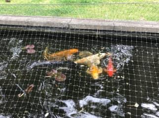 (7) Fancy Koi in pond