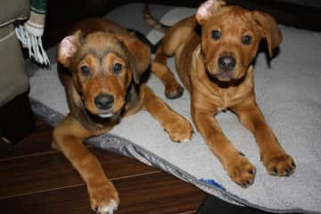 Wallace and Chewy as puppies daughter Karma's lads