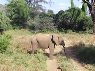 An elephant that crossed our path in Kenya