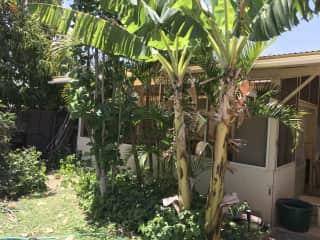 banana trees next to art studio