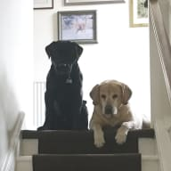 Labradors to love in Crieff