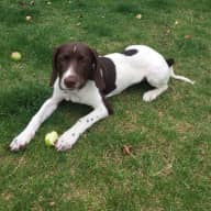 Christmas in the Cotswolds! Dog & House sitter needed for our gorgeous floppy eared puppy.
