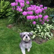 Garden care and pet sitter needed for 11 year old Schnoodle