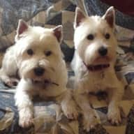 2 west highlands terrier looking for someone nice to look after them