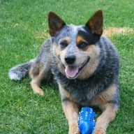 Pet sitter needed for our lazy Blue Heeler on the Mornington Peninsula