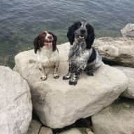 SPANIEL LOVERS REQUIRED FOR DECEMBER
