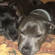 Pet sitter required for our staffy's (11yrs & 5yrs)