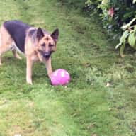 Sitter for Gsd dog and two barn owls in rural mid wales