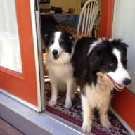 Sitter to care for my 2 border collies and apartment in beautiful Santa Cruz, CA