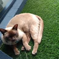 Pet Sitter needed for Burmese Cat for 2.5 weeks in Perth WA