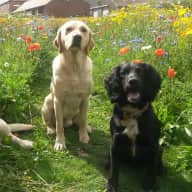 House & pet sitter for 3 dogs. 1 cocker spaniel & 2 labradors