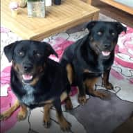 Pet sitter needed for our 2 large dogs, 1 small dog & 4 cats