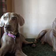 Weimaraners in West Denver looking for sitter