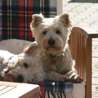 Mature, responsible couple to look after 2 Westies and 2 cats March 2017