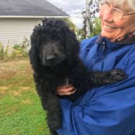 Pet sitter needed for goldendoodle puppy