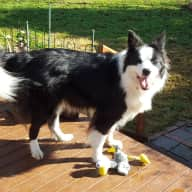 Pet sitter needed for lovely border collie and cat in Canberra.
