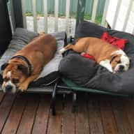 Pet Sitter Need for 2 Australian Bulldogs in Sydney