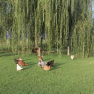 Petsitter required for our two kelpies Bindy & Joey & a flock of Chooks