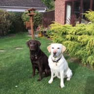 Pet sitter needed for 2 labradors near Cambridge
