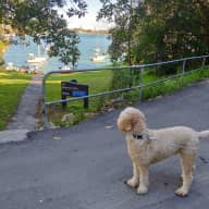 3yo Labradoodle (Bobo) | Old house with harbor frontage